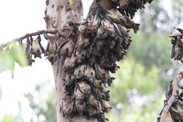 Rwanda Fruit Bats