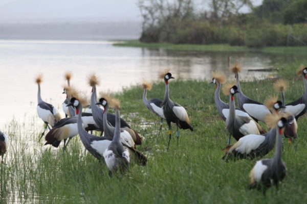 Saving the Grey Crowned Crane Rwanda