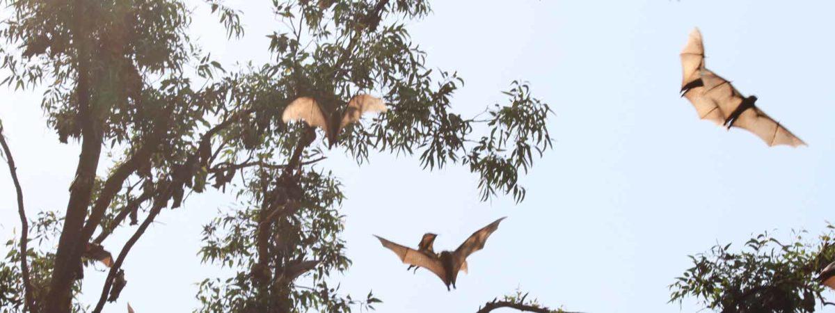 bats flying RWCA